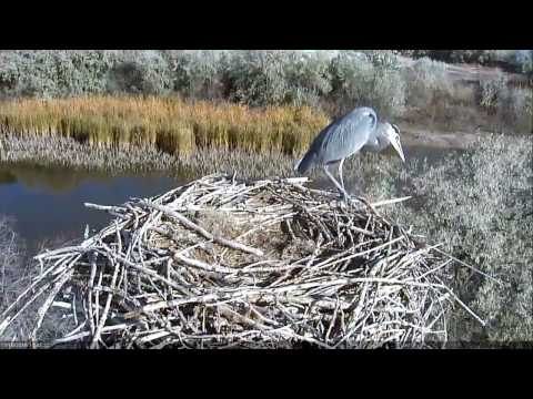 10/18/16 Great Blue Heron visits off-season osprey nest (full version)