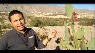 Desert Survival Food: Cactus Fruits