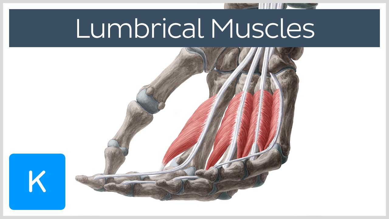 Lumbrical Muscles Of The Hand Origin Insertion Function