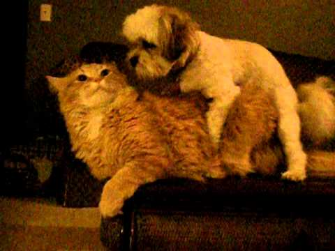 Dog Humps Cats Face