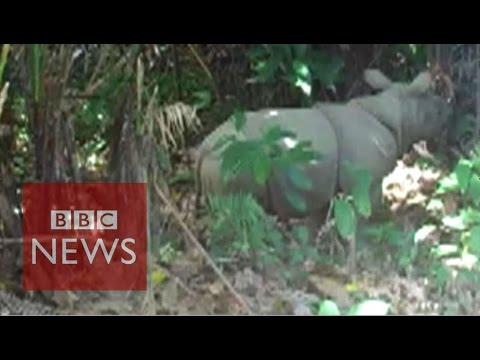 Rare rhino calves caught on camera in Java - BBC News