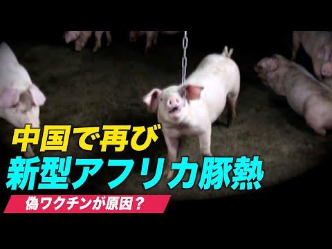 中国で再び新型アフリカ豚熱を確認 海外メディア「偽ワクチンが原因」