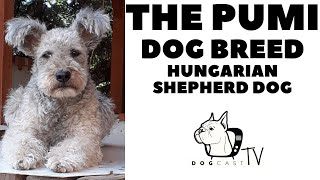 The PUMI dog breed  The agile Hungarian Herding dog!  DogCastTV