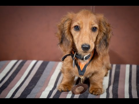 Marvin - Miniature Dachshund Puppy - 2 Weeks Residential Dog Training