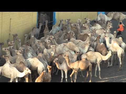 Djibouti port  - Camel loading