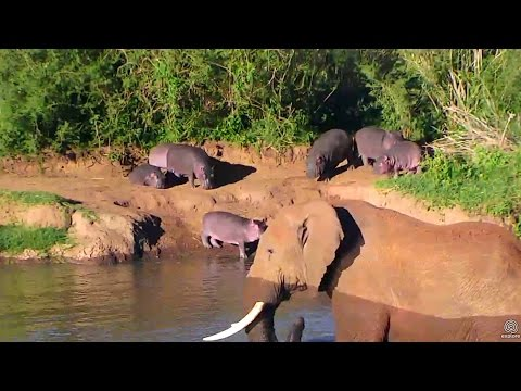 Elephant gatecrashes hippo's pool party. Africa Watering hole cam. 22 May 2017