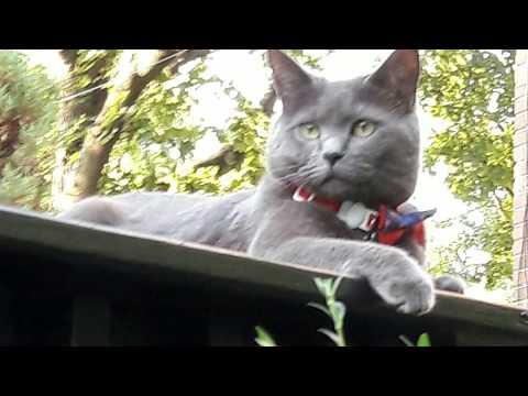 Introducing my Chartreux cat Bella Graciella