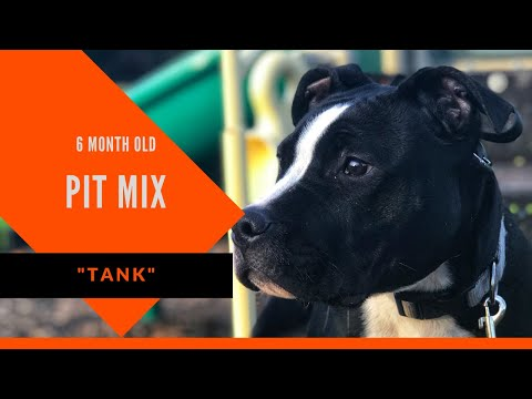 Tank   6 Month Old Pit Mix   Dog Boot Camp Macon   Macon Dog Trainers