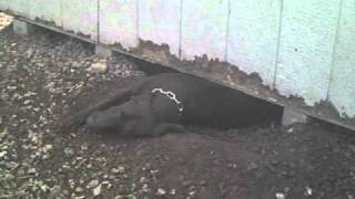 Three Legged Dog Ada Digs Hole Under Garden Shed