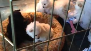 Cute Pomeranian, American Eskimo Puppies