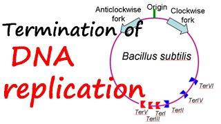 Termination of DNA replication in E.coli
