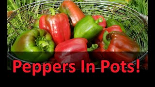 Growing Peppers In Containers Or Pots