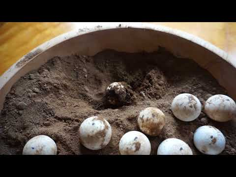 Snapping Turtle Hatching From Egg.