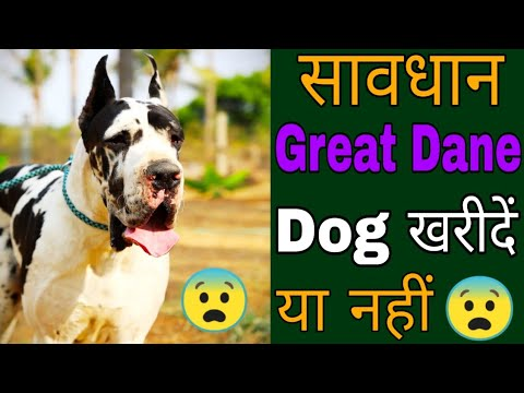 Great Dane Dog Buy Or Not // Biggest Great Dane Dog Kennel