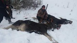 Загонная охота на лося 2016.