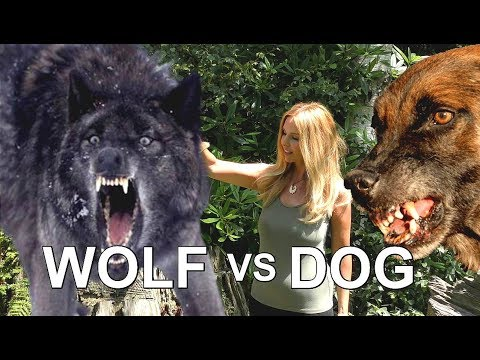WOLF VERSUS DOG - Who would win?