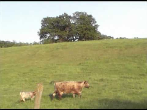Healthy Cow and Calf #2