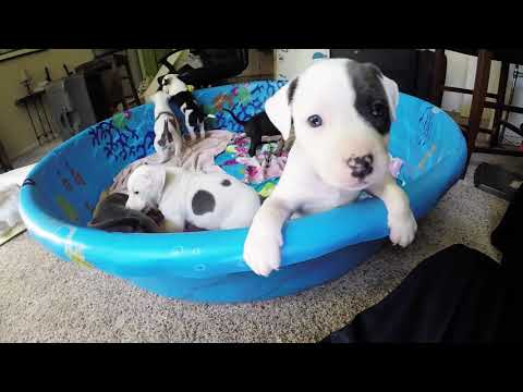 Pitbull Puppy for sale Girl Black/Brindle and White