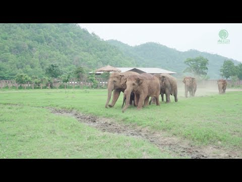 Thumbnail: Elephants Run To Greeting A New Rescued Baby Elephant