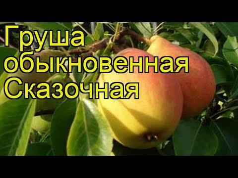 Груша обыкновенная Сказочная. Краткий обзор, описание характеристик pyrus communis Skazochnaia