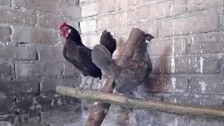 Nowe nabytki i nowa rasa w hodowli :)