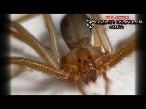 ¡ATENCIÓN, Esta Araña ASESINA Podría Estar en tu Casa! - Proyecto Paranormal México