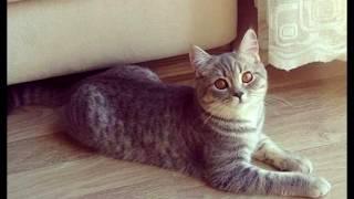 Порода кошек. Анатолийская кошка. Турецкая короткошерстная