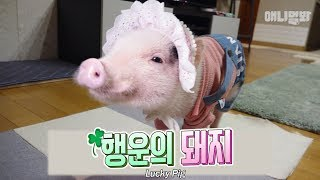 Must-Watch! This Lucky Pig Will Brings You GOOD FORTUNE!
