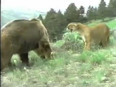 Báo sư tử đánh nhau với gấu.mp4