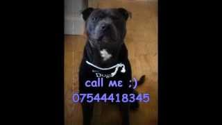 Stud Dog - Blue Staffordshire Terrier, Wales, Uk. Master Deebo.