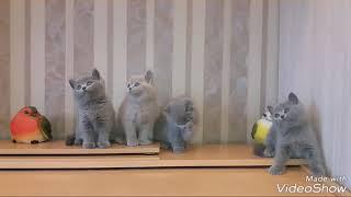 Британские котята. Помёт H. 7 недель. PLUSH BLUE RAY т. +7 921 330 51 55