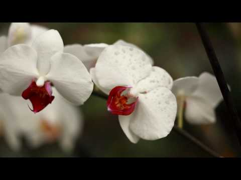 Orchid Flowers Utopia