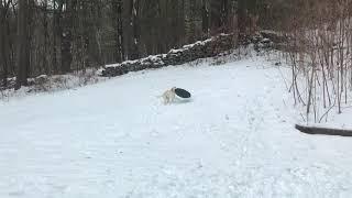 Boss dog sledding