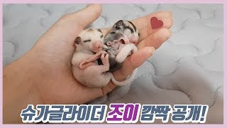 슈가글라이더 조이(아기) 깜짝 공개~!!