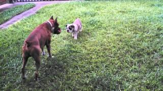Bulldog Ingles Vs Boxer ( Lukas Vs Skar )