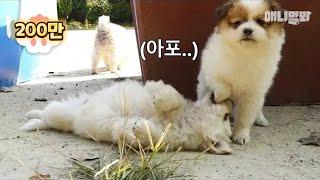 이 강아지들로 말할 것 같으면 군부대 혈통 시고르자브종이지 말임다 ㅣ Soldier-Friendly Stray Puppy Siblings Born In An Army Base