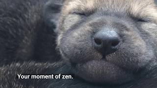 Red Wolf Pups - Critically Endangered Cuteness