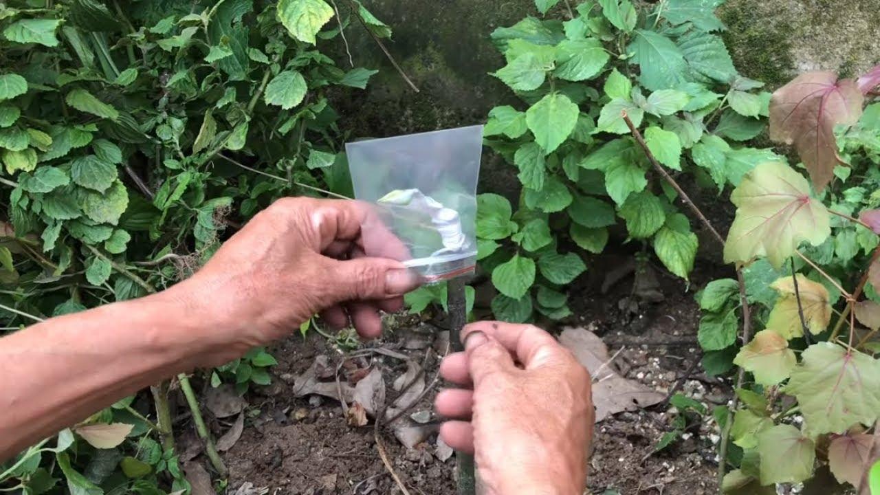 Phương pháp xử lý mắt ghép và cách ghép mít hiệu quả  ( #LNLV ) | Lão Nông Làm Vườn