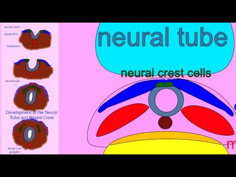 EMBRYONIC DEVELOPMENT: NEURAL CREST CELLS