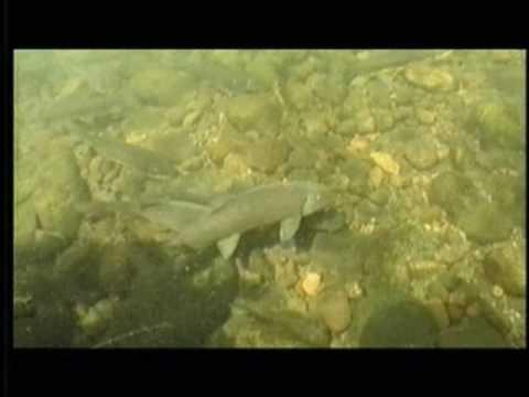 Native Fish Species Of Arizona