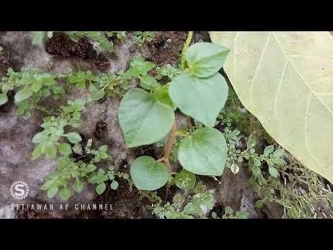 sirih-bumi,-sirih-cina-atau-tumpang-air-obat-herbal-penyakit-asam-urat-dan-jerawat