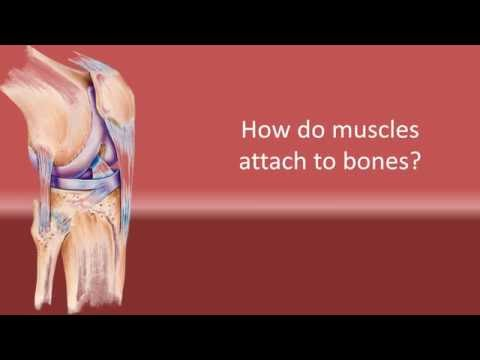 How Do Muscles Attach To Bones ?