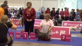 European Dog Show 2013. Geneva. Cairn Terrier Best Of Breed