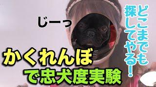 フレブル子犬タプさん生後235日目♪ 初めて隠れるコタツの中に隠れて、タ...