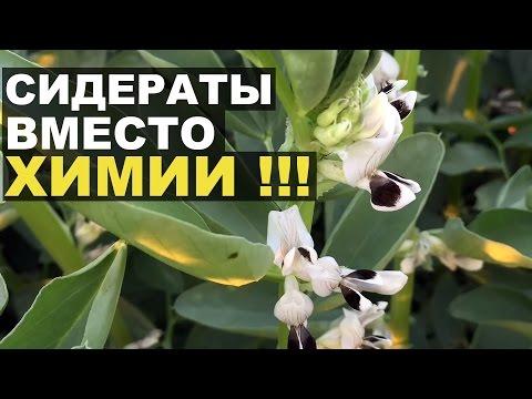 Бобы Растения Фото -