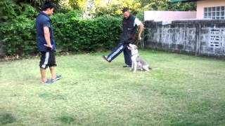Dog Training Obedience In Rayong Thailand
