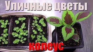 Уличные цветы Колеус из семян. Семена с Украины(, 2016-07-17T15:15:03.000Z)