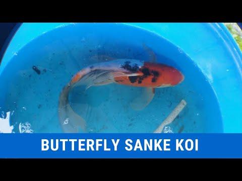 Butterfly Sanke Koi Guide