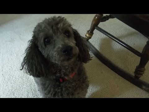 1st Person Dog Petting - Drone Metal Mondays - Cute Poodle loves scritches! - ambient for work/study