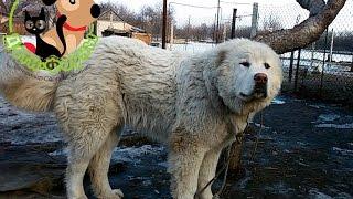 Если собака съела инородный предмет, основные симптомы